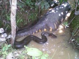 anaconda eating a cow