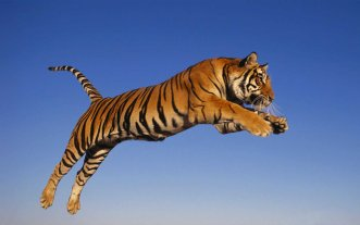 animal-tiger-jumpping