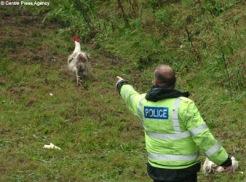 chicken fleeing the law