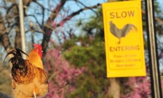 Chickens-have-been-roaming-from-their-established-Bastropsanctuary-on-Farm-Street.-Terry-Hagerty-Photography2-660x400