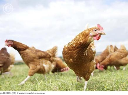 Chickens_running_in_field_pe0069644