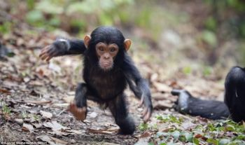 chimp running