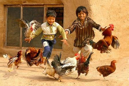 stunt chickens
