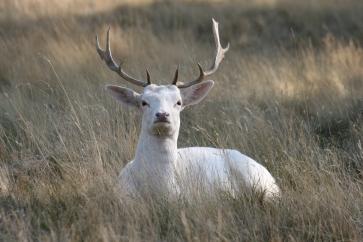 white stag bushy park