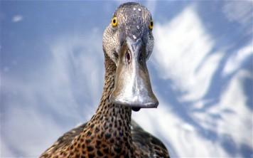 dastardly duck