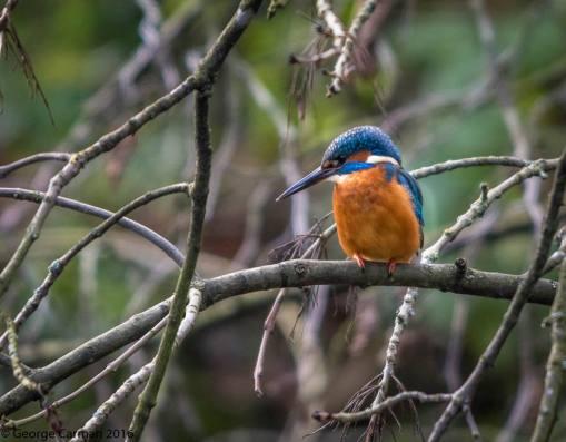 george carman kingfisher