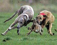 greyhound hare