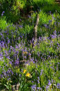 bluebells at Endcliffe