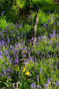 bluebells at Endcliffe