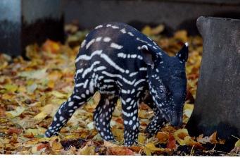Malayan tapir calf