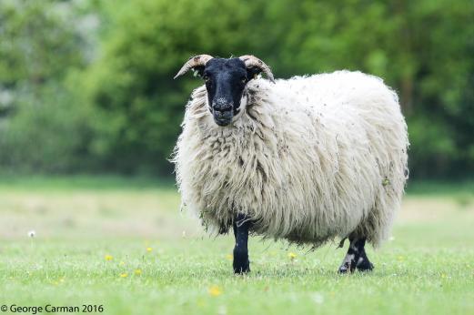 GC sheep shot