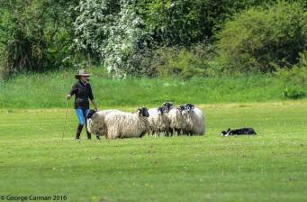 GC sheep trials