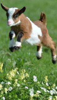 goat-kid-leap