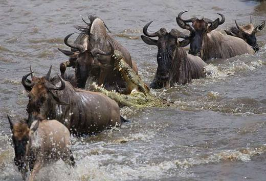 nile-crocodile-attacking-wildebeest-in-the-mara-river-masai-mara-kenya_g4u1148-j
