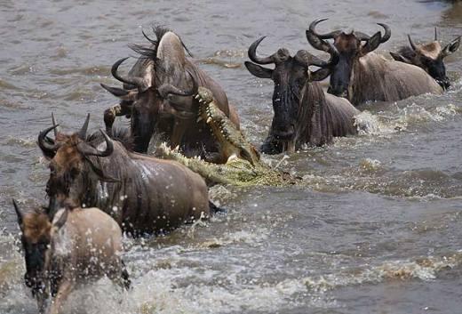 nile-crocodile-attacking-wildebeest-in-the-mara-river-masai-mara-kenya_g4u1148-j