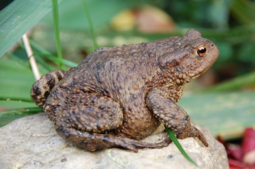 toad-from-geograph-org-uk