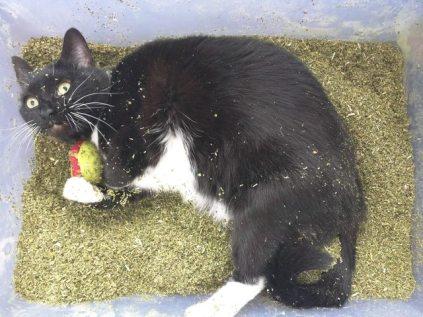 catnip-cat