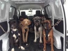 dogs-in-van