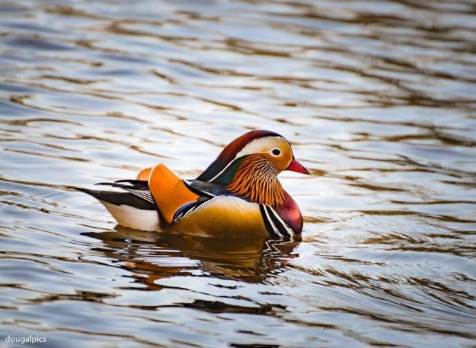 classy duck