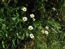 DD daisies