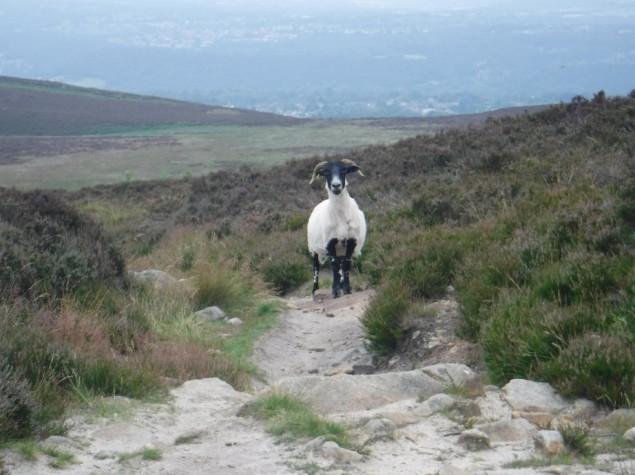 DD Fine sheep shot