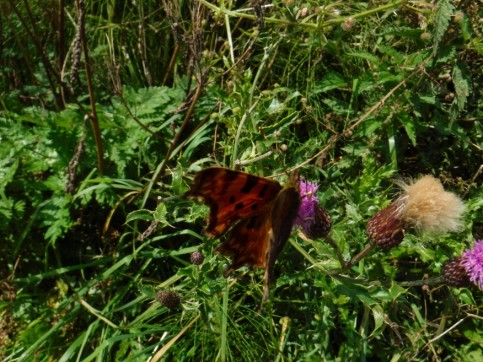 comma butterly