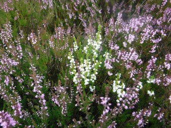 white heather lucky for some