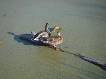 ducks chilling in Bushy park