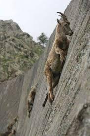 goat climbing