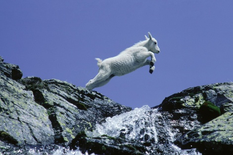 A goat leaps across a stream in Glacier National Park, Montana.