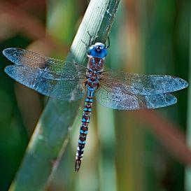 4ba169ee56089f1a1583f2c4448cdea5--i-spy-blue-dragonfly