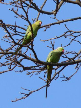 feral parakeets