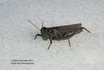 grasshopper in snow