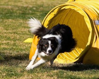 exit the tunnel dog agility