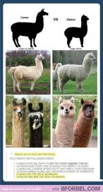 difference between alpaca and llama