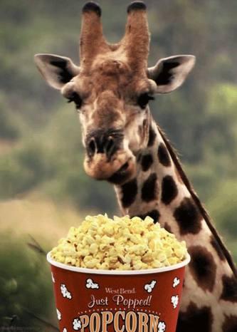 giraffe eating popcorn