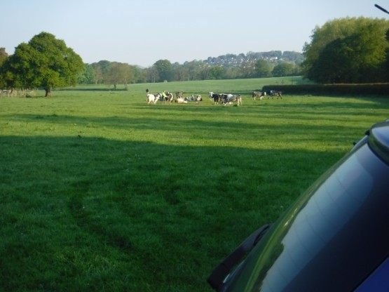 cattle companions in car park field