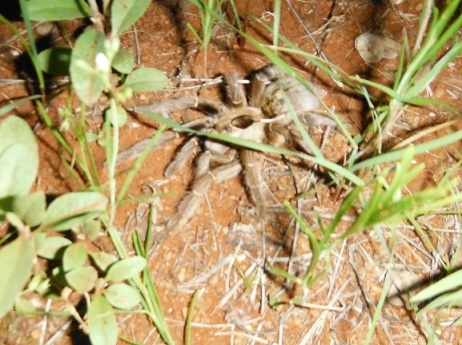 Evicted baboon spider