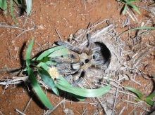 Baboon spider enticed out of hole