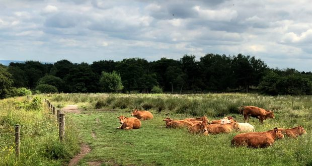 cows1-620x330