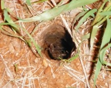 scorpion in baboon spider hole