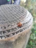 cs ladybird