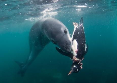 hunting penguin