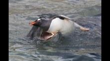 leopard seal huntin penguin