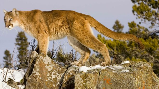 _105492823_gettyimages-1061398502 mountain lion