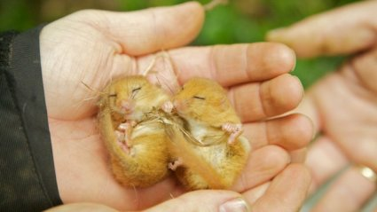 £20 could get a nest for dormice