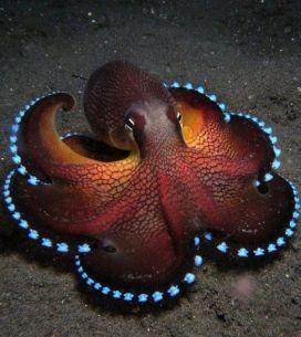 octopus awe#