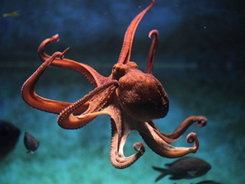 Octopus_Sea_400