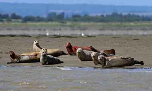 River-Thames-seal-populat-009