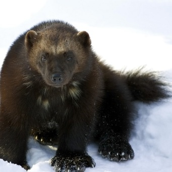 wolverine-in-snow